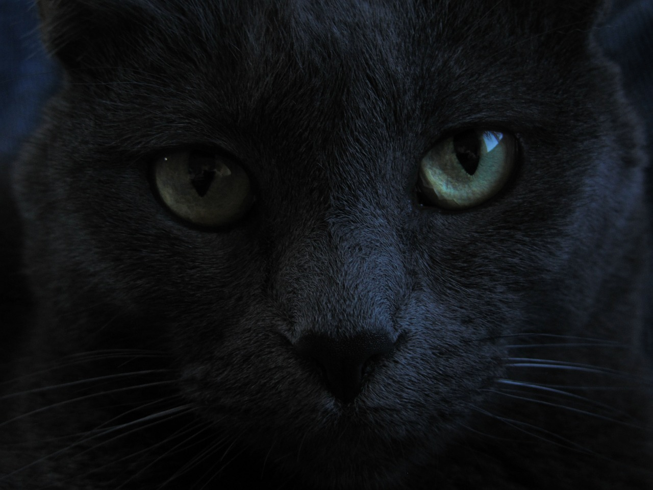 Close up of a black cat face