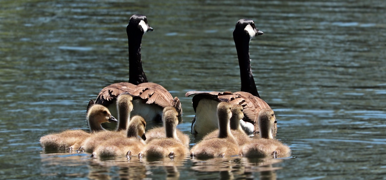 geese-2494952_1280
